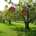 dwa jabłka na jabłoni