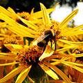 pszczoła zbiera nektar z żółtych kwiatów
